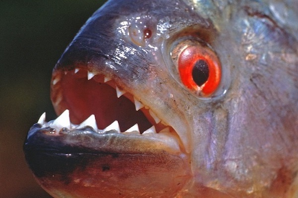 Piranhas threat to humans is largely exaggerated
