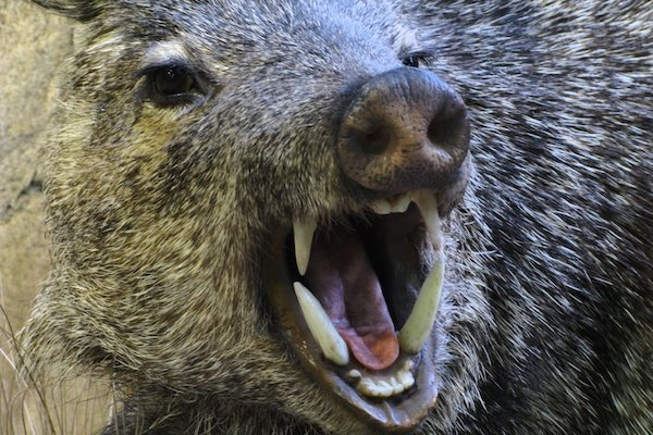 The Wild Boar can be very nasty when threatened